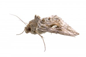 Clothes moth